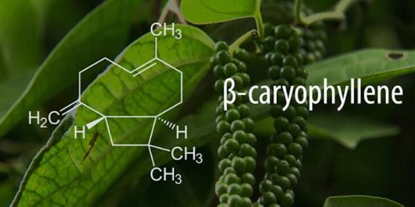 beta cariofillene